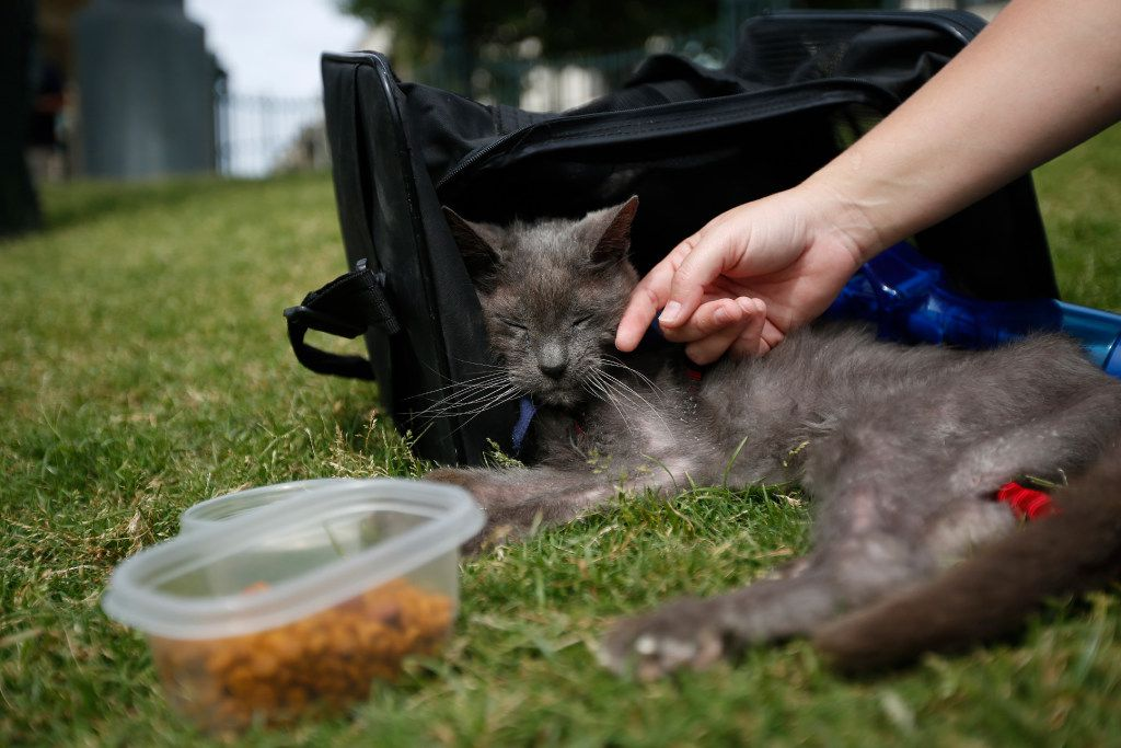 """Nineteen-year-old Thunder with owner Shannon Eason during """"Take Meow to the Ballgame,"""" a day where cat owners are encouraged to bring their cats to the ballpark at Dr Pepper Ballpark in Frisco, Texas, Sunday, May 21, 2017."""