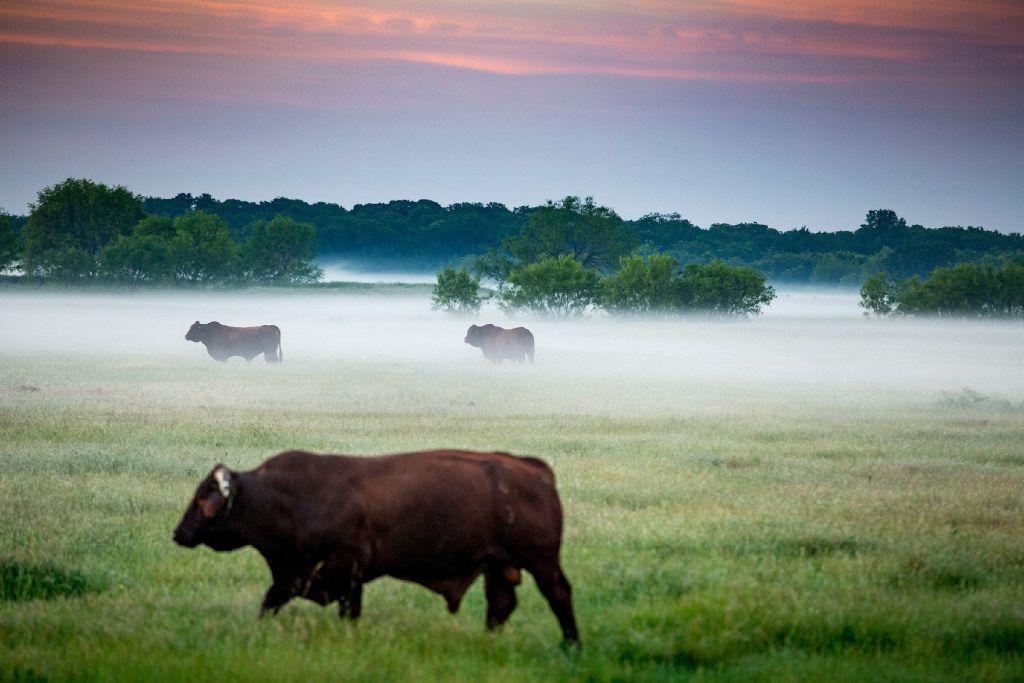 Cattle still graze at the Toddie Lee Wynne family's Star Brand Ranch near Kaufman. .