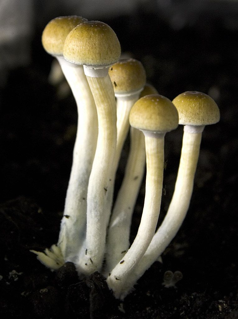 Magic mushrooms are listed as a Schedule I drug in the United States, but researchers see potential to use them as medicine to treat ailments like post-traumatic stress disorder.