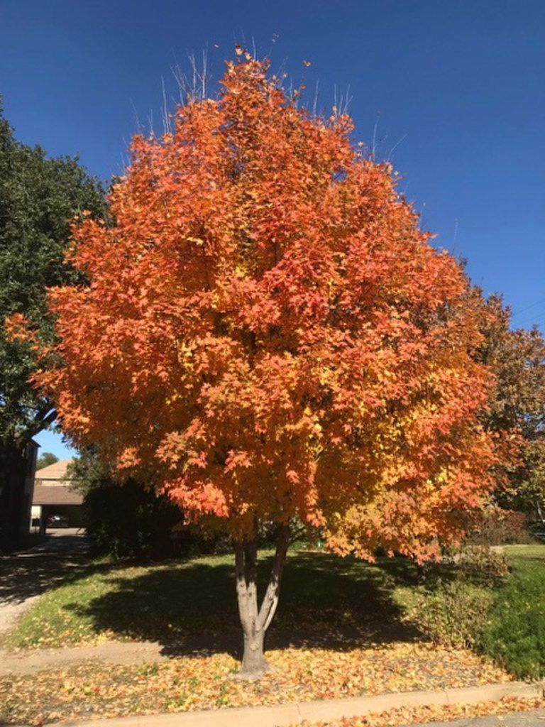 Bigtooth maple, which has nice color in the fall, is one of the cleanest trees, especially if you are lucky enough to get a male and have no seeds.