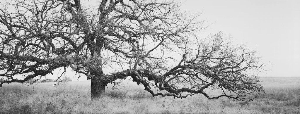 David H. Gibson, Windmill Grass and Oak, Boddy Ranch, Henrietta, Texas, gelatin silver print, selenium toned, 14 x 37 inches, courtesy of Valley House Gallery.