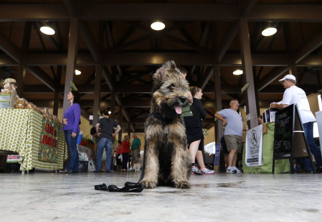 Cooper, a Briard puppy, sits at the Coppell Farmers Market in Coppell.