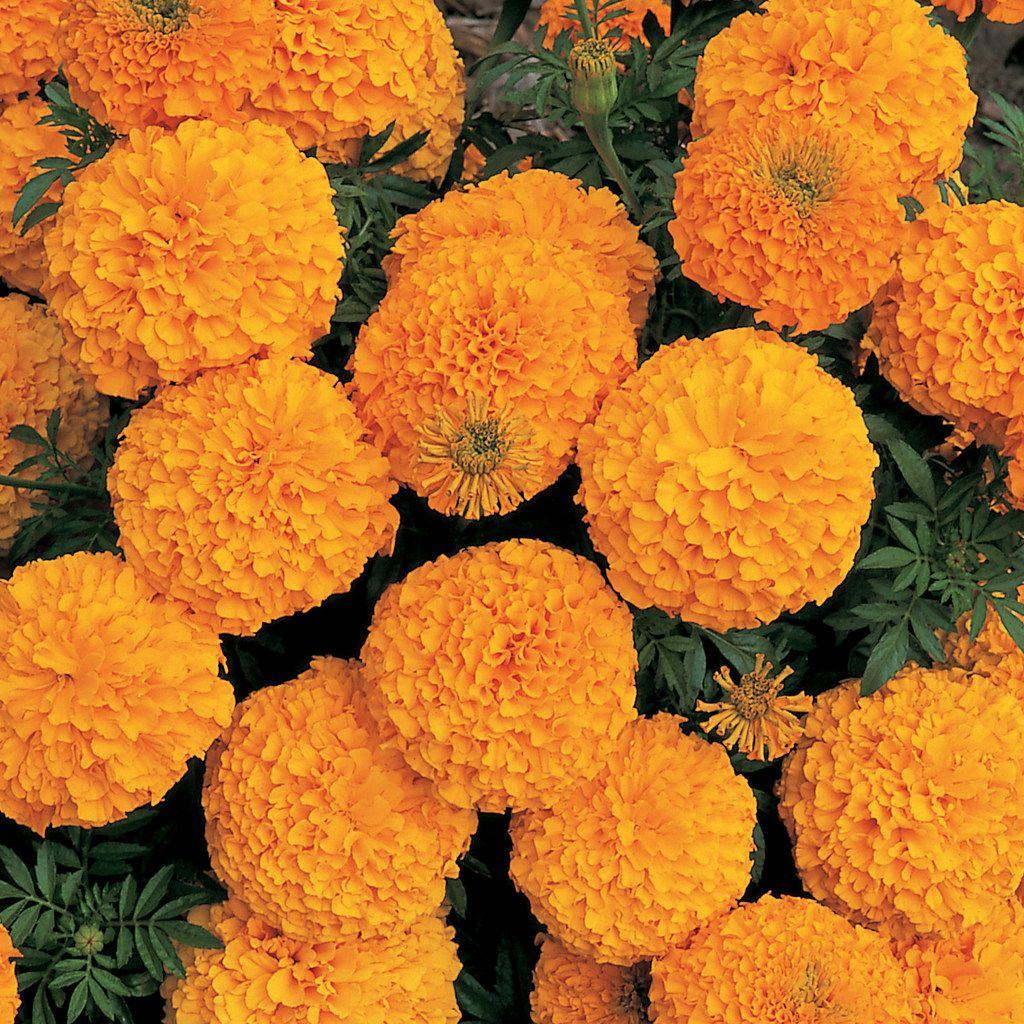 African Marigold 'Inca II Orange'