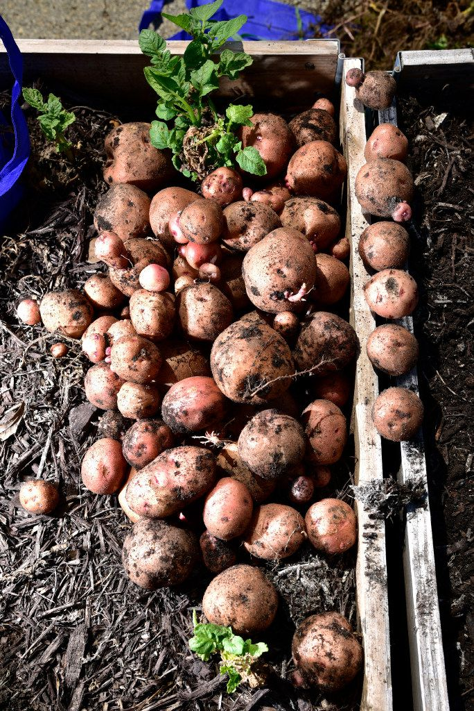 These Kennebec potatoes were among items recently picked as part of a donation.