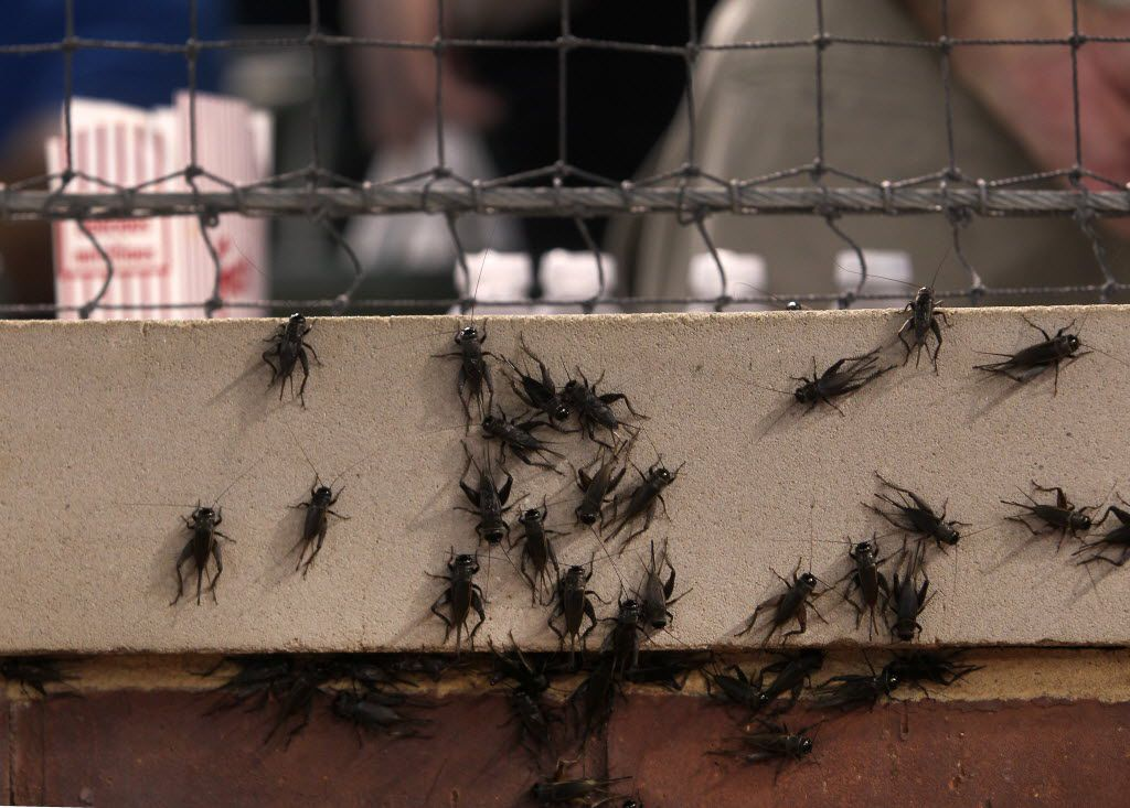 Crickets, like baseball, are a staple of Texas summers. In 2012, thousands of crickets filled parts of the field, camera wells and dugouts at the Rangers ballpark in Arlington, Texas.