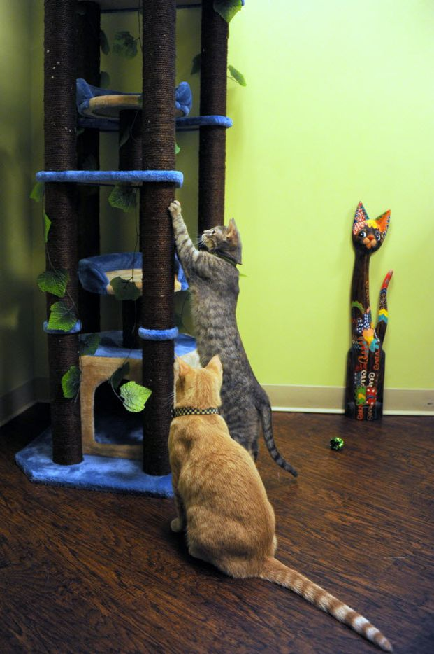 Cats play with the tree at The Charming Cat Corner at Vista Ridge Mall in Lewisville.