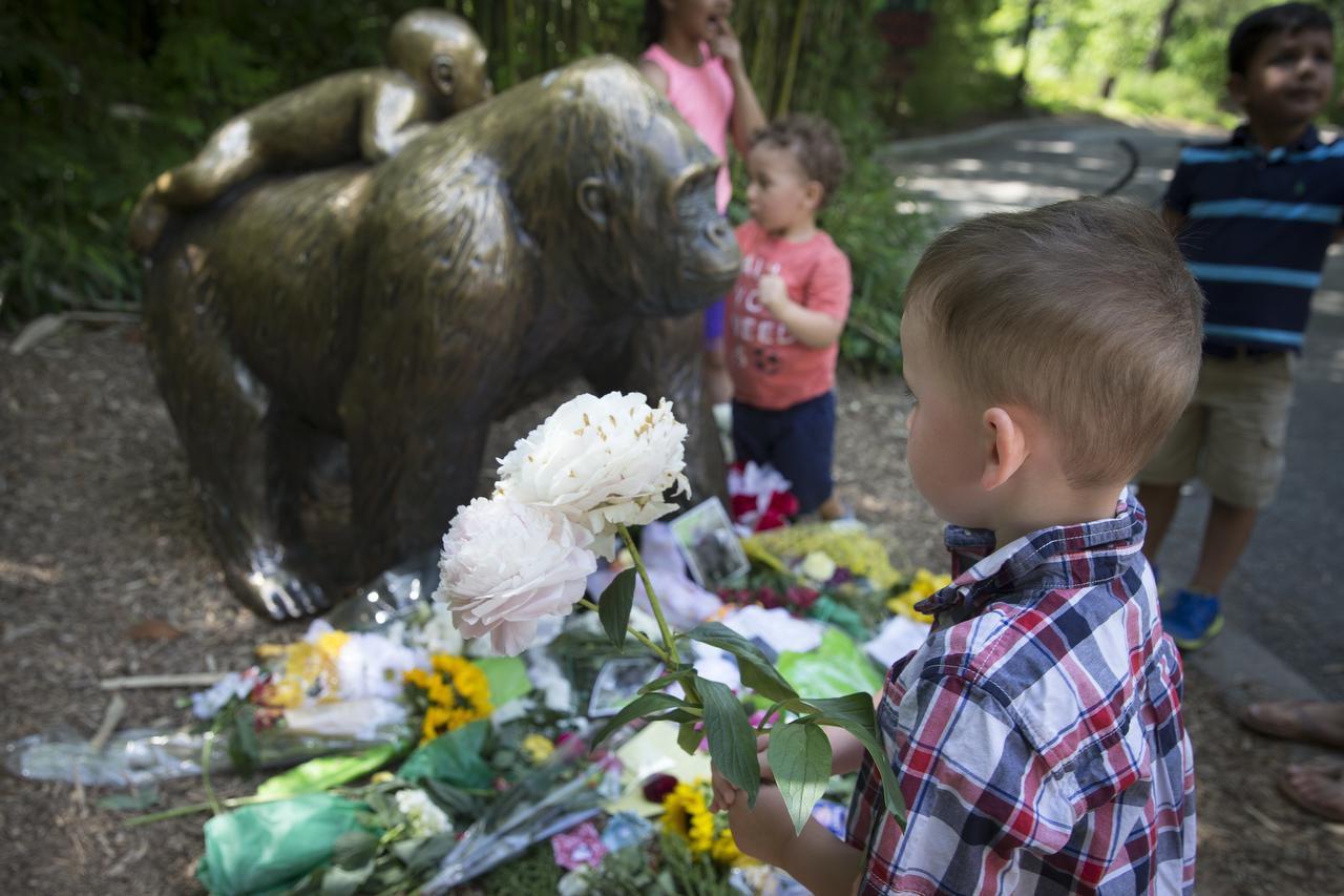 Un niño deposita flores afuera de la exhibición de gorilas en el zoológico de Cincinnati, donde guardias mataron a un gorila luego de que un niño cayó en su hábitat. (AP/JOHN MINCHILLO)