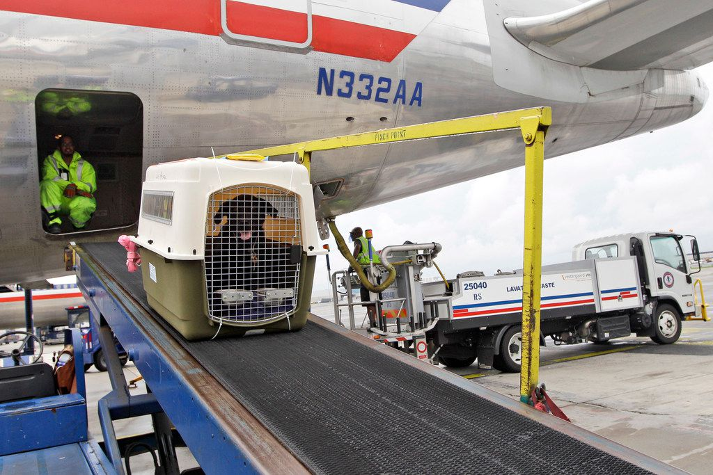 FILE- In this Aug. 1, 2012, file photo, American Airlines grounds crew unload a dog from the cargo area of an arriving flight at JFK International airport in New York. If your pet must travel, experts have several recommendations including to make sure your pet's tags and your contact information on its carrier or crate are up to date. Pets too large to fit in an under-seat carrier must go cargo unless it's a service or emotional-support animal. (AP Photo/Mary Altaffer, File)
