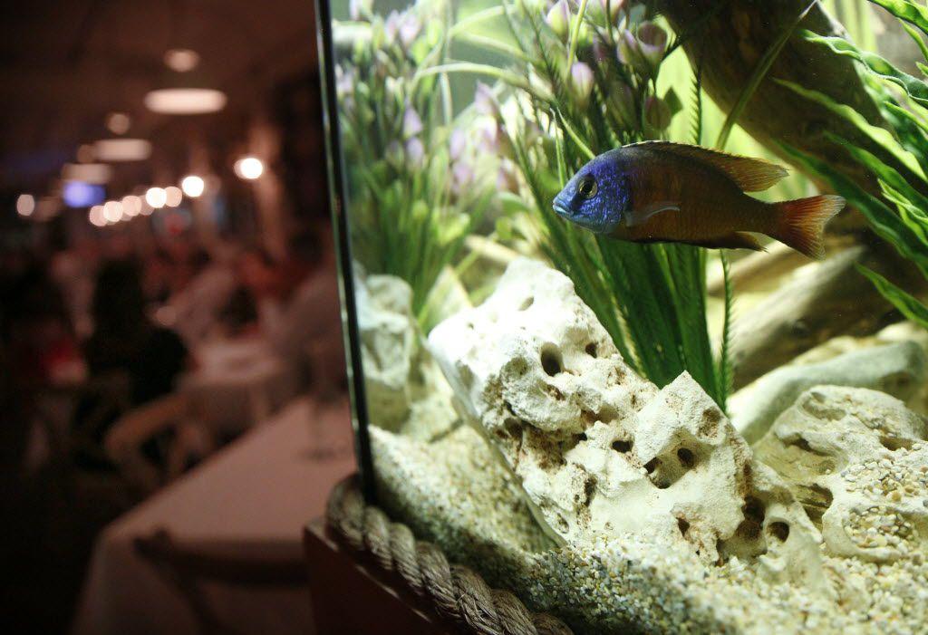 An aquarium in Montlake Cut's dining room