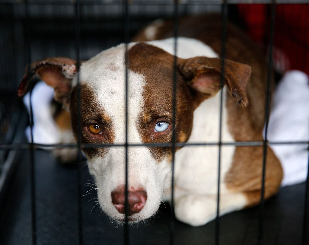 One of many rescued dogs waited to be taken to the Austin area after going through tests in a makeshift tent city run by Austin Pets Alive! in Katy on Sunday. The nonprofit group is working on getting pets to their families as well as keeping the pets alive. (Vernon Bryant/Staff Photographer)