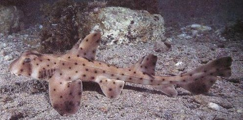 The 16-inch horn shark was taken from the aquarium on Saturday. Her name is Helen and she is less than a year old.