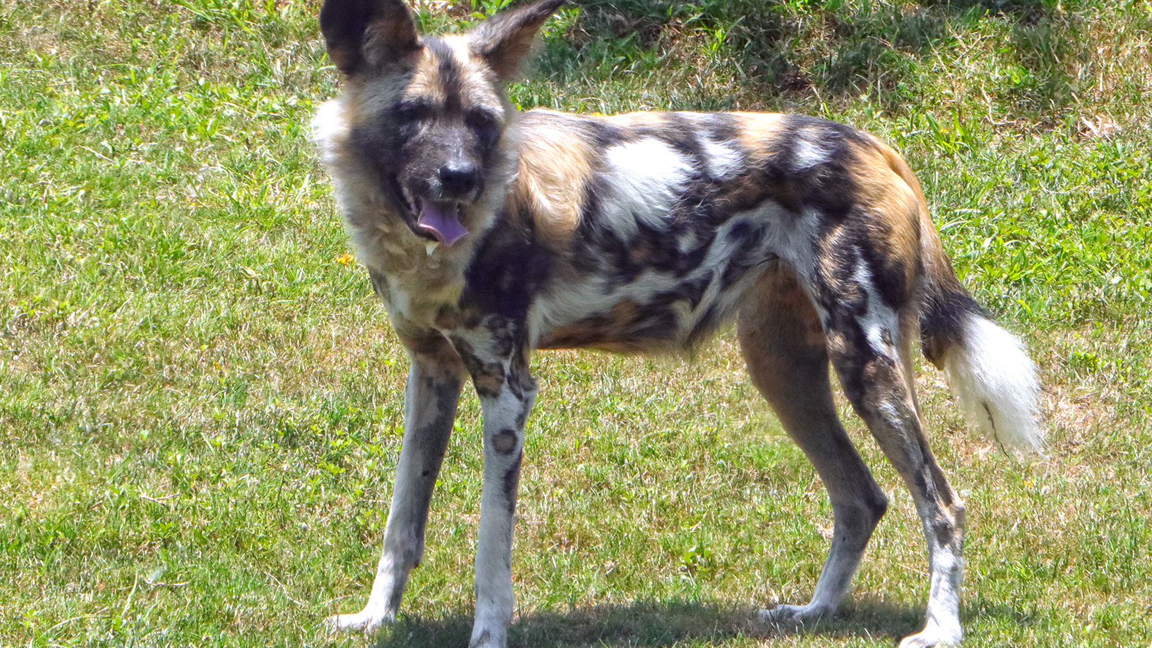 Ola, an 8-year-old female African painted dog, spends her first day in her new habitat. Ola and two other painted dogs, who are 2-year-old brothers, are the Dallas Zoo's first African painted dogs since 1962.