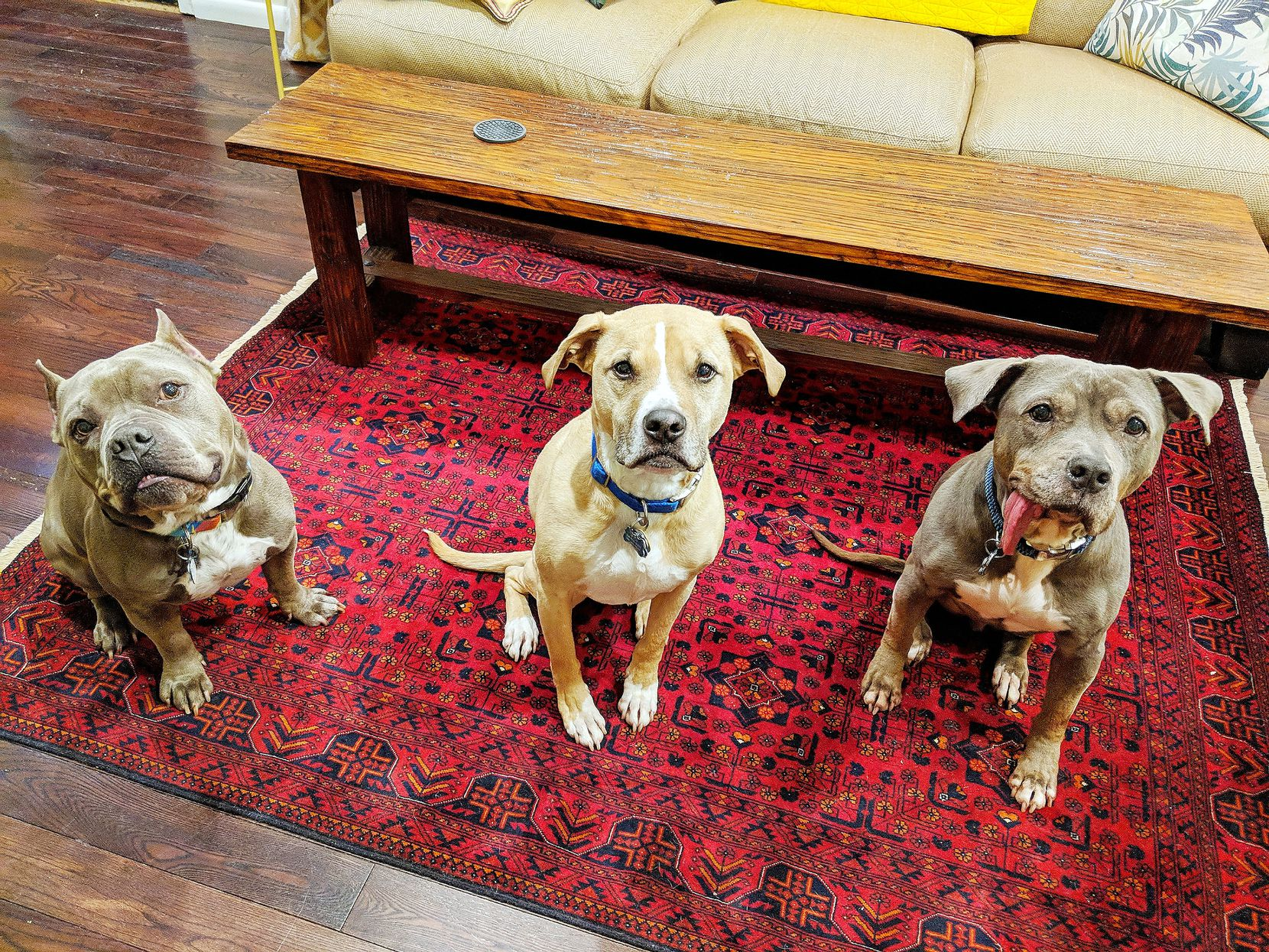 From left, Hippo, Wulo and Baboy, the three dogs that share Deborah Rodriguez's East Dallas home.