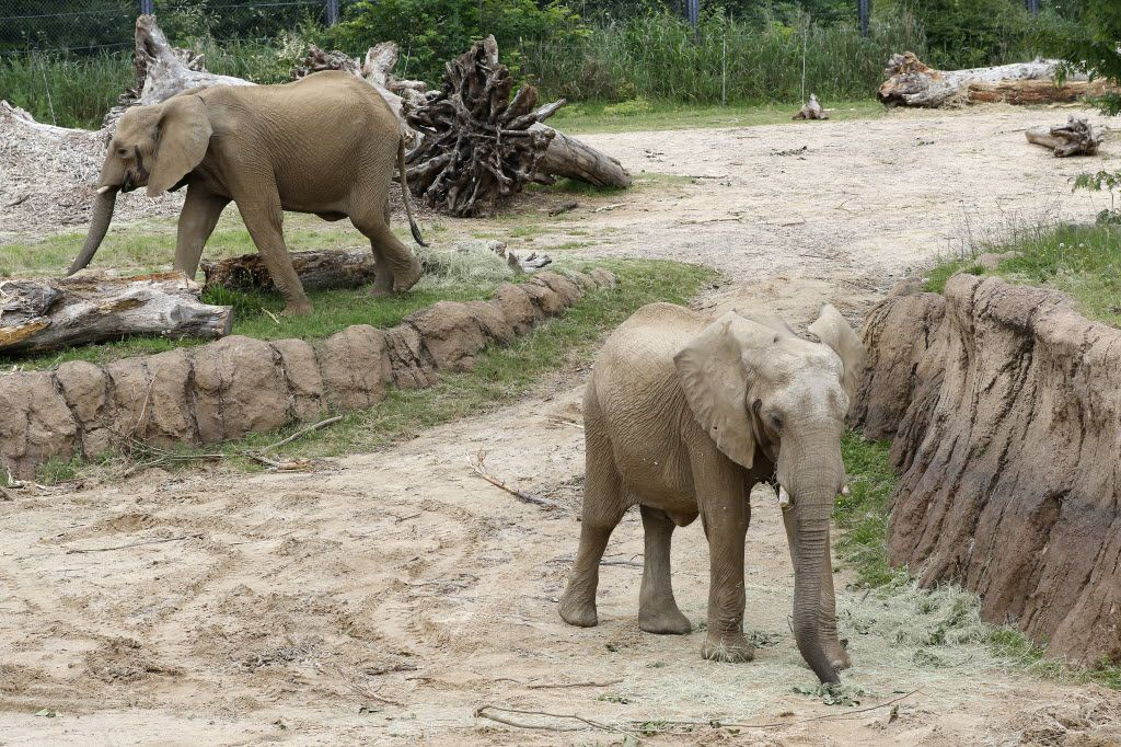 Two of the Swaziland elephants Tendaji (right) and Zola walk around the Giants of the Savanna at Dallas Zoo in May. The zoo attributed part of its success in reaching a million visitors to the addition of five new elephants rescued from Swaziland, one of which gave birth in May.