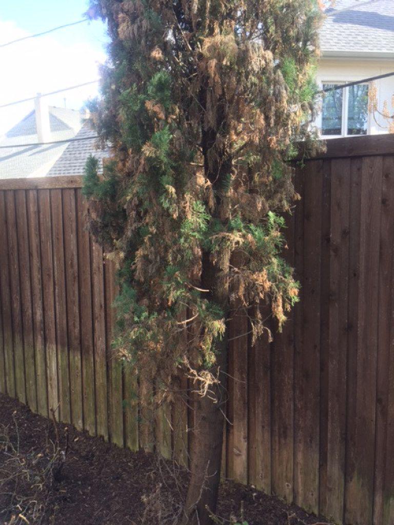 Italian cypress tree has a fungal disease.