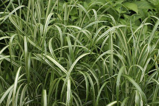 Although Asian jasmine is a prominent groundcover in North Texas and comes in a handsome variegated form, liriope (pictured) is even more popular. Liriope is called monkey grass, but actually it is a rhizome-spreading member of the lily family.