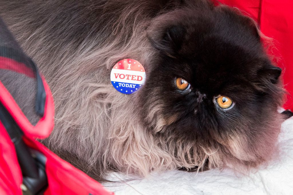 """""""James Bond,"""" an 8-month-old Black Solid Persian, wears an """"I Voted"""" sticker put on by his owner, Nadja Bem, of Dallas, outside of the polling station at Reverchon Park on Nov. 8, 2016 in Dallas."""