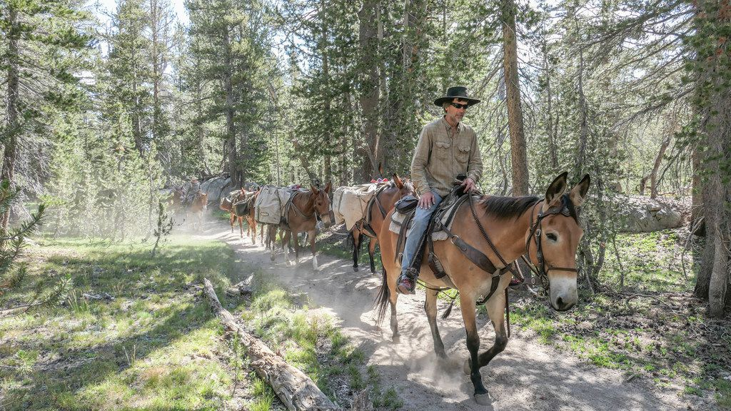 The Vogelsang Camp's mule train supplies the camp with firewood and perishables three days a week.