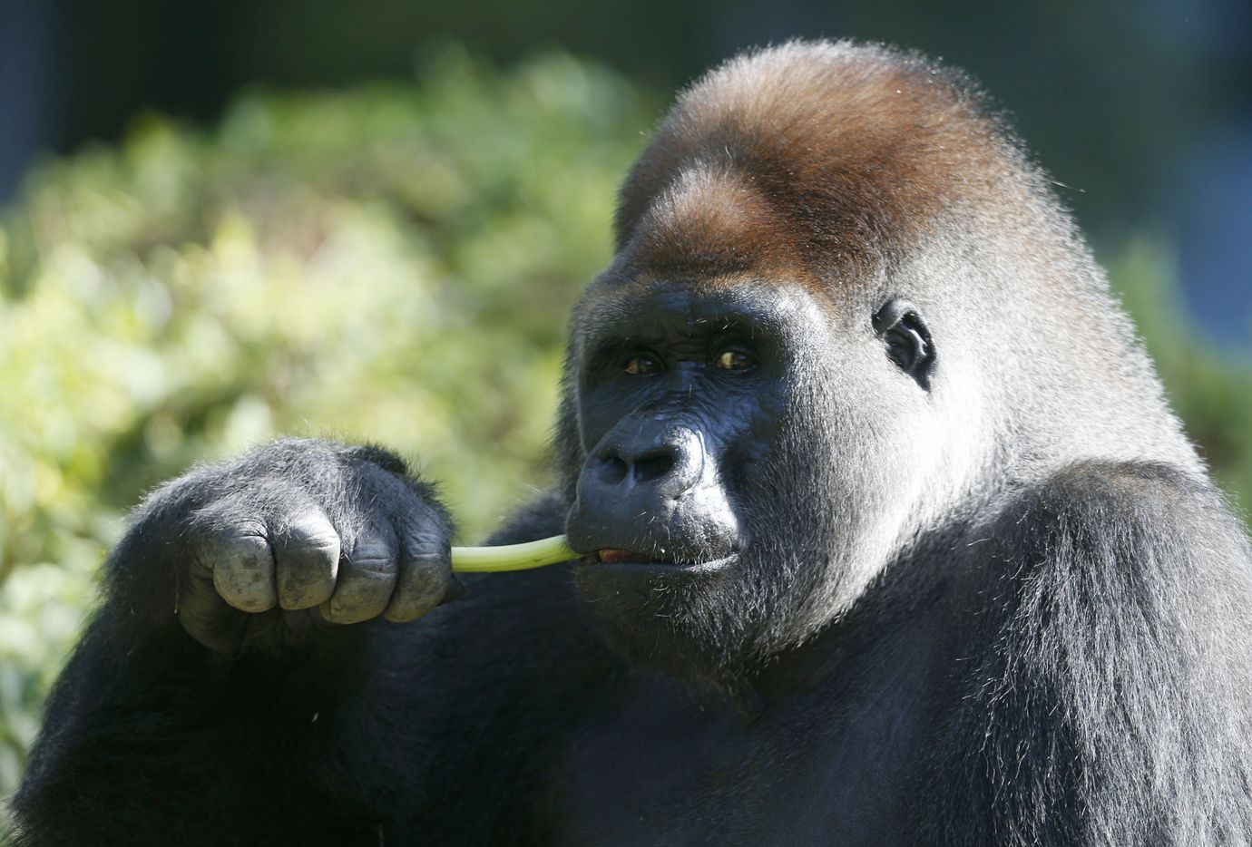 Subira eats celery at the Dallas Zoo in Dallas on Thursday, July 5, 2018. Subira is the father of the new baby gorilla. The newborn is the fifth the zoo has cared for in nearly 50 years and the first born at the zoo since it welcomed Wakub, also known as Jake, in January 1998. (Vernon Bryant/The Dallas Morning News)