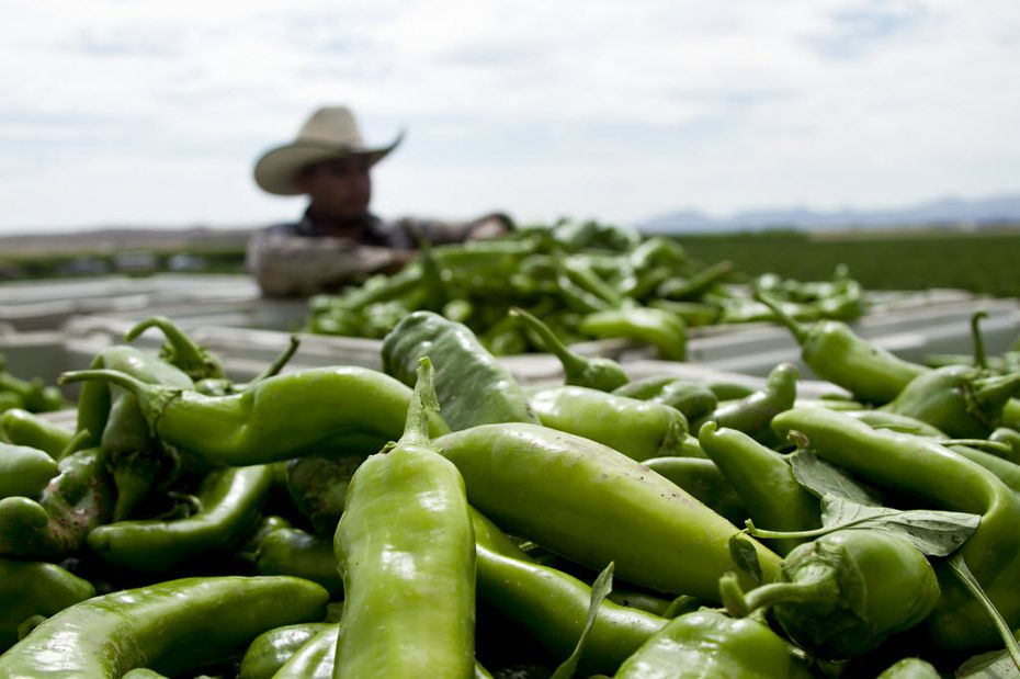 A worker harvests Hatch chiles near Hatch, New Mexico, in 2014. Say it with me: They're ba-ack!
