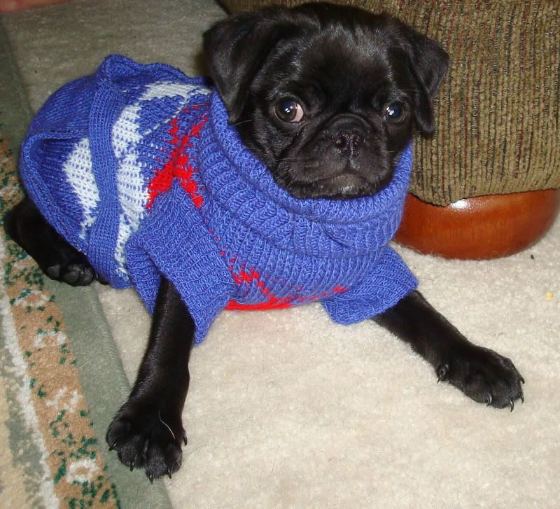 Pug puppies are born with the intense desire to run in circles, lick your face incessantly and entertain the world. They also look way cute in a sweater.
