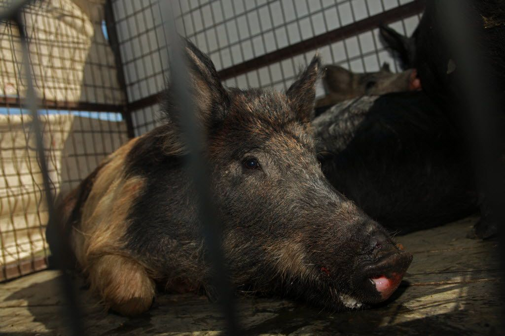 Trapping operations nabbed three feral hogs in the Irving landfill in 2011.