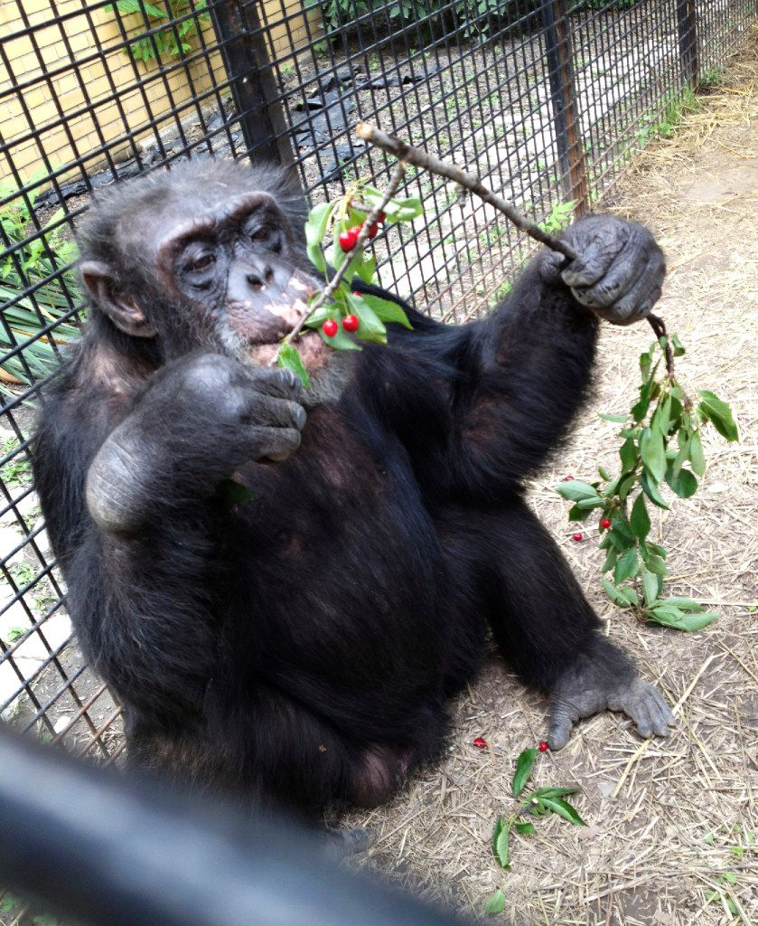 "In this July 2013 photo provided by the Primate Sanctuary, the chimpanzee Kiko eats wild cherries at the nonprofit Primate Sanctuary in Niagara Falls, N.Y. Kiko's keeper Carmen Presti, and his wife rescued the deaf chimp 23 years ago from a life of performing at state fairs and in the television movie ""Tarzan in Manhattan."" Kiko, who has medical problems requiring constant attention, is at the center of a court effort Thursday, March 16, 2017, by attorney Steven Wise, who will try to persuade a New York appeals court that a chimpanzee should be treated as a person with legal rights, when he presents the case of Kiko and another chimp, arguing that they should be freed from cages to live in an outdoor sanctuary. But Presti said, ""If he's taken away, he could die without his family to give him the special care he needs, and to bring him into the house to play."" (Primate Sanctuary via AP)"