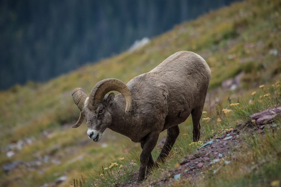 A bighorn sheep wanders a hillside in mid-September in Glacier National Park.
