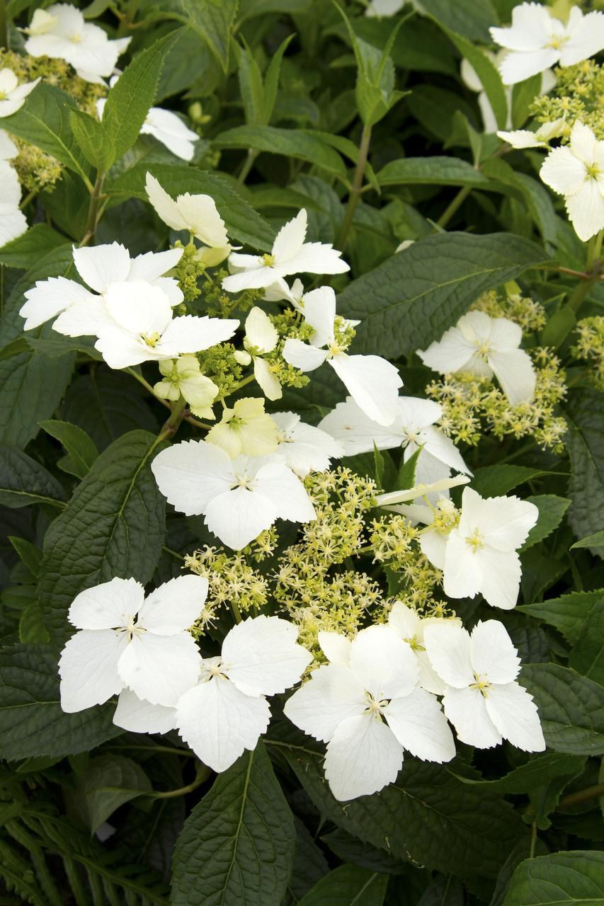 'Golden Crane' hydrangea from Monrovia is noted for producing extremely fragrant blooms — unusual for hydrangeas — of creamy lacecap flowers in late spring. This hydrangea was developed by plant explorer Dan Hinkley from seed collected in southern China. A Blue Enchantress Hydrangea macrophylla, and a Hydrangea Serrata bloom.