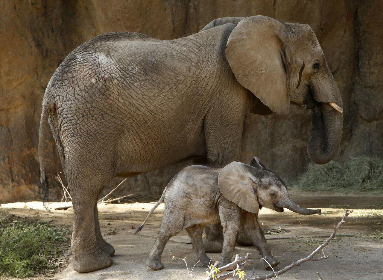Ajabu, el elefante de cinco meses, junto a su madre Milo, en la exhibición Gigantes de la Sabana, en el zoológico de Dallas. A (DMN/ROSE BACA)