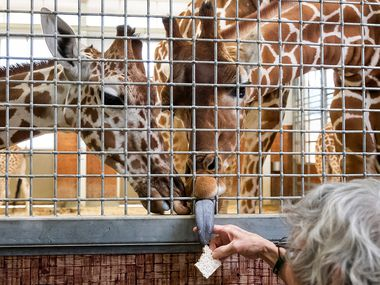 Richard Cohen feeds giraffes at the Dallas Zoo. Although he says he's not supposed to have a favorite, he does — Witten, the year-old calf.