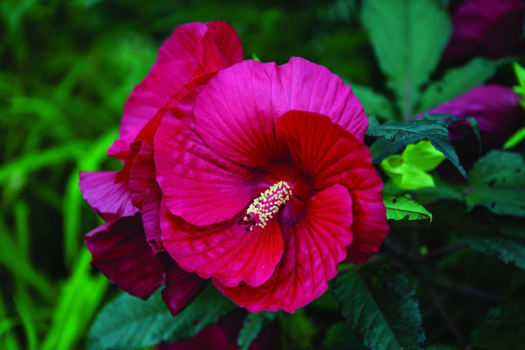'Midnight Marvel' hibiscus from Burpee
