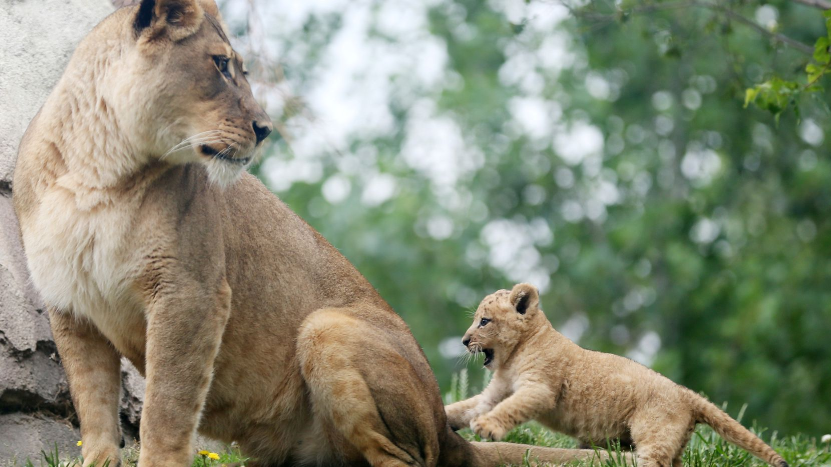 Bahati, a lion cub, plays with her aunt Jasiri while making her public debut at the Dallas Zoo in  May 2017. The cub was joined by her mother Lina and aunt Jasiri. Bahati is the first lion cub born at the zoo in 43 years. She was born weighting nearly 3 pounds on March 17 and she is now 13 pounds.