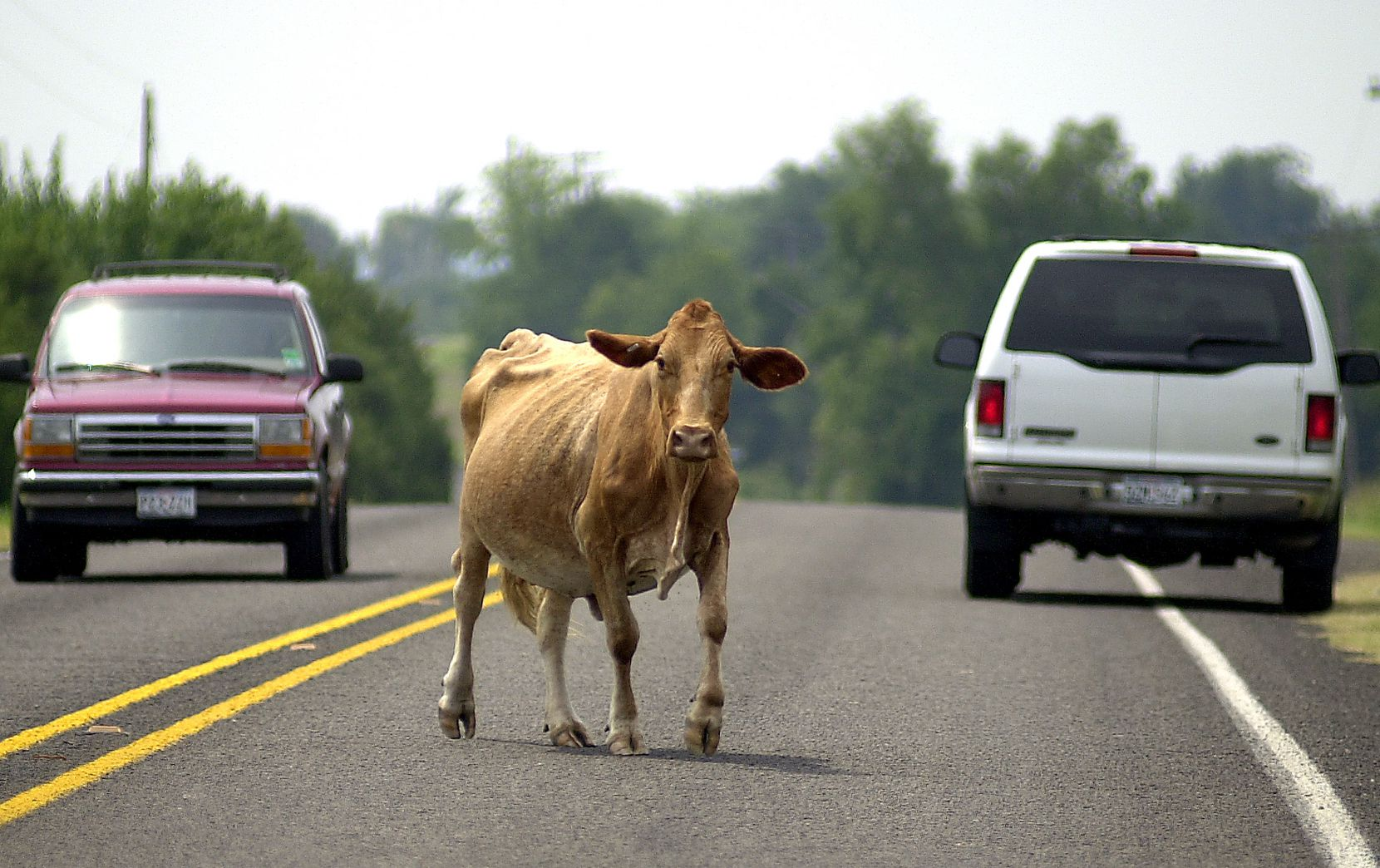 Traffic stops as a cow crosses the road in Bug Tussle in 2002.