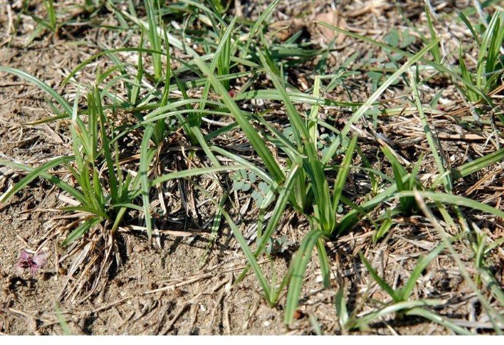 Nut grass, a weed that plagues North Texas lawns and gardens, is one of the most difficult to eradicate.