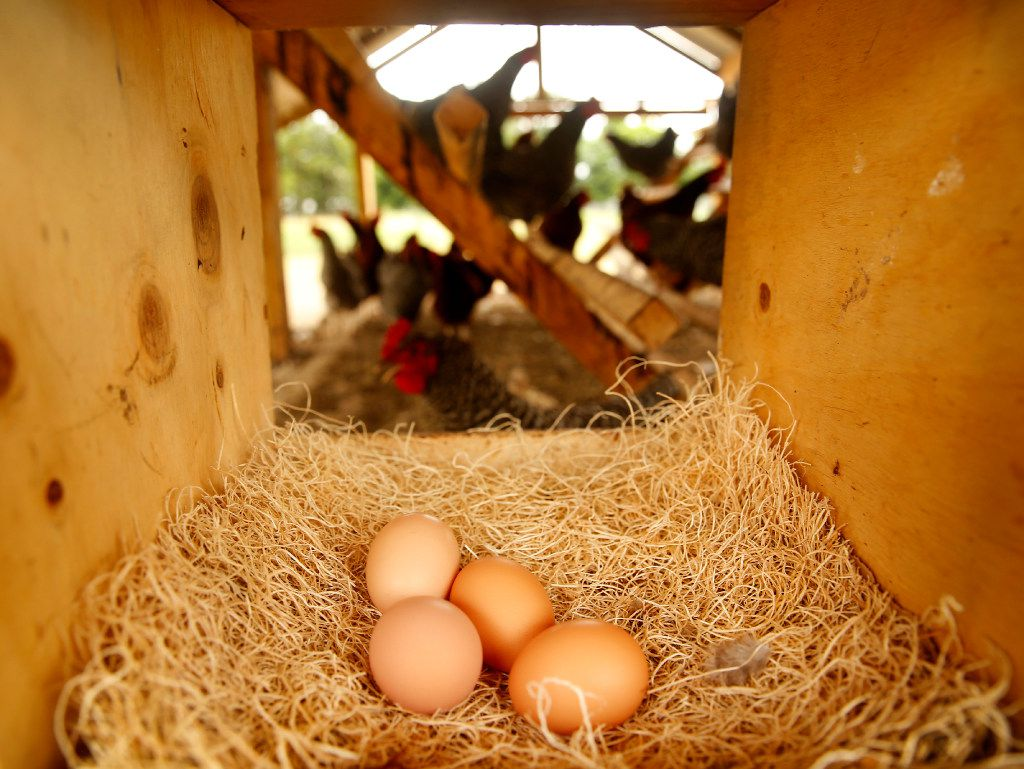 A grouping of eggs rest in a nest box of a hen house on the Bois d'Arc farm.