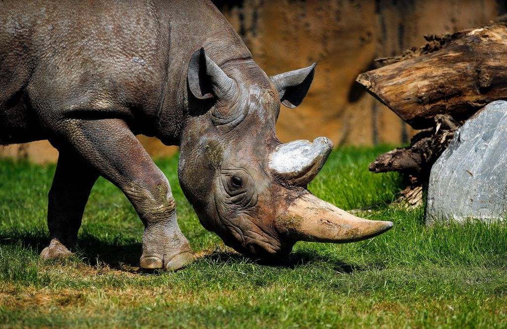 After two days in its new enclosure, a black rhino grazes in the new 10-acre African Savanna exhibit at the Fort Worth Zoo.