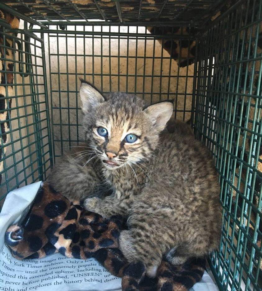 Parecen gatitos, pero no son. Se trata de gatos monteses (bobcats) que serán devueltos a su hábitat.