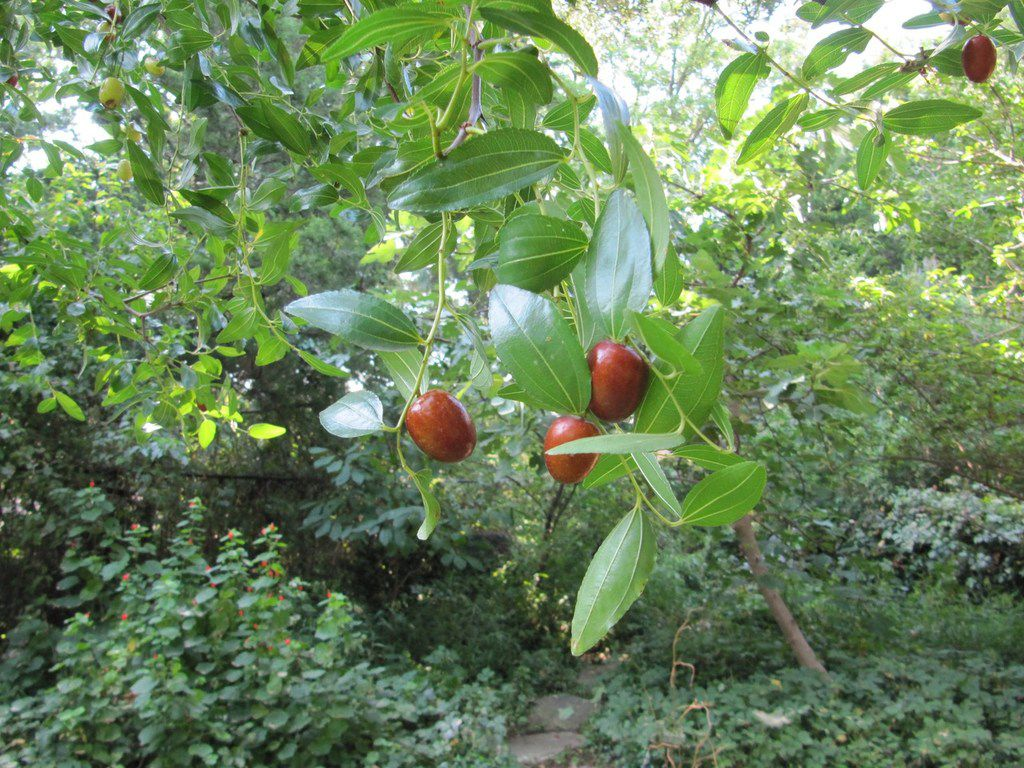 Jujube is a shade tree that produces edible fruit.