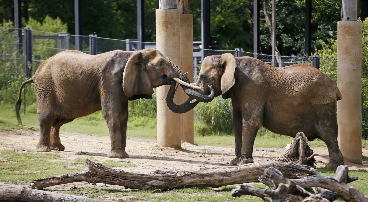 Mama (left) played with Gypsy, a younger member of the Dallas Zoo's all-female herd, last year in the Giants of the Savanna exhibit.
