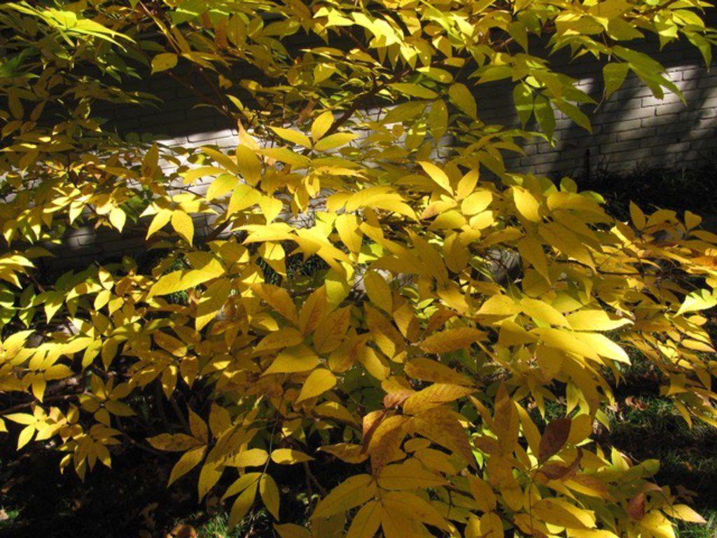 The Mexican buckeye tree has beautiful fall color.