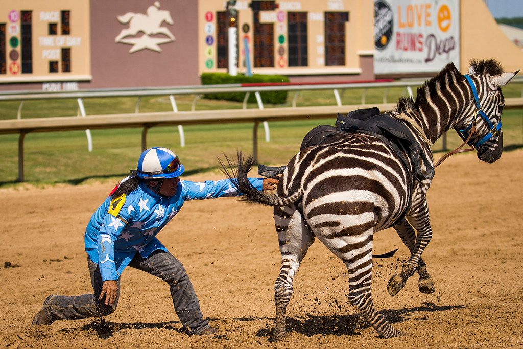 """Jockey Alex Alvarado tries to catch his mount after falling from a zebra during """"Extreme Racing"""" at Lone Star Park on Saturday, April 28, 2018, in Grand Prairie, Texas. Ridden by Lone Star Park jockeys, camels, ostriches and zebras took to the track between horse races, with each animal paired with a local non-profit charity. (Smiley N. Pool/The Dallas Morning News)"""