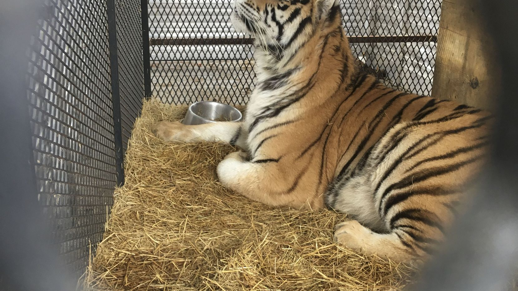 A tiger found at a Houston home is being prepared for transport from Houston to the Cleveland Amory Black Beauty Ranch on Tuesday. The tiger was found in a cage in the garage of a home in the 9400 block of East Avenue J after an anonymous tipster called 311 to report the animal.