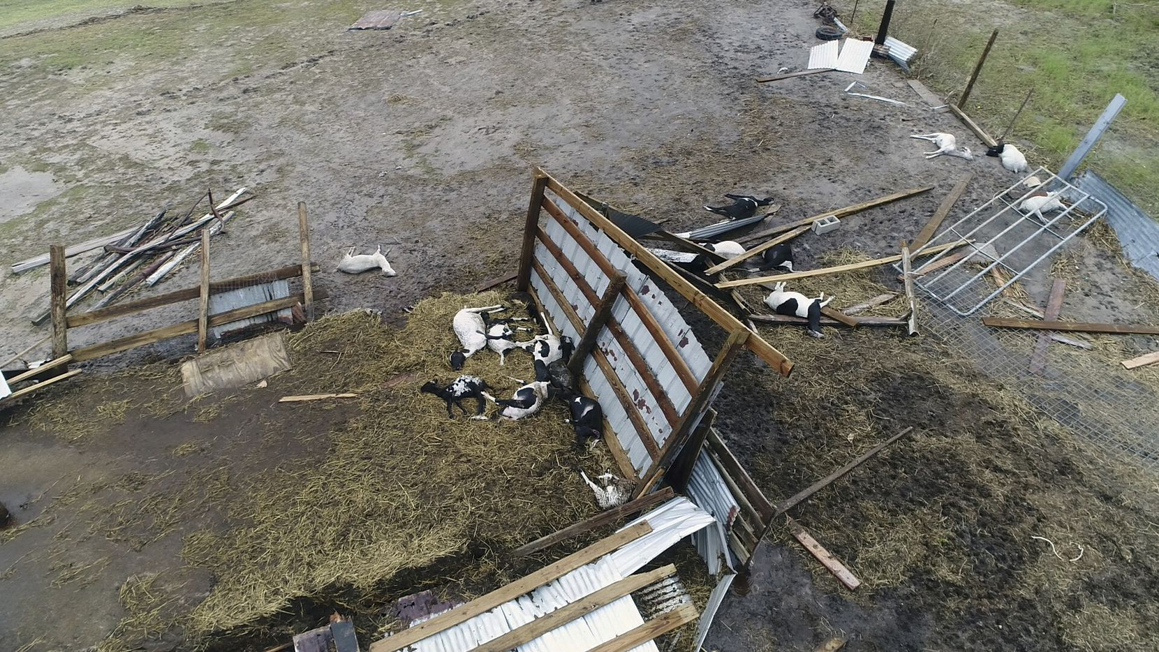 This aerial image shows dead cows in the wake of Hurricane Harvey on Monday, Aug. 28, 2017, in Bayside, Texas. Harvey hit the coast as a Category 4 hurricane.