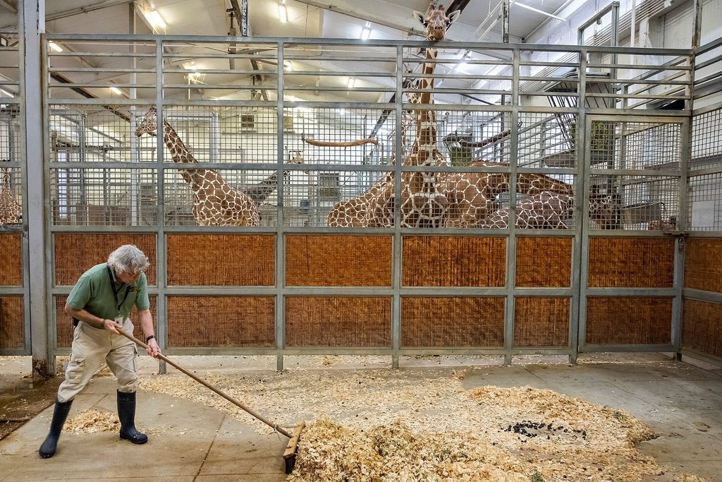 Giraffes keep an eye on Richard Cohen, 77, as he sweeps up their barn at the Dallas Zoo on March 13.
