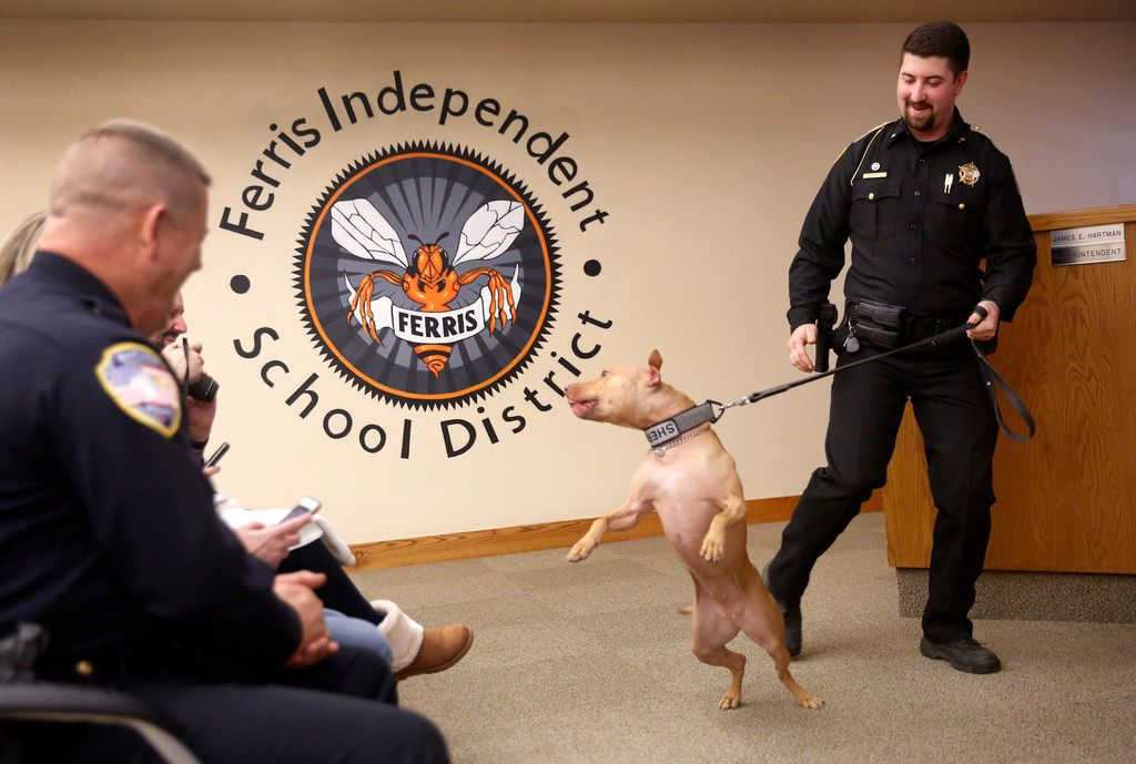 Franklin County (Ark.) sheriff's Deputy Brandon Chancey tries to control his new and excited K9 pit bull, Pepper, as they're  introduced during Friday's graduation from Midlothian-based Sector K9, a police canine training group, at Ferris ISD auditorium. The officers were trained and given a chance to bond with their dogs for two weeks after the dogs' initial training in narcotics detection.