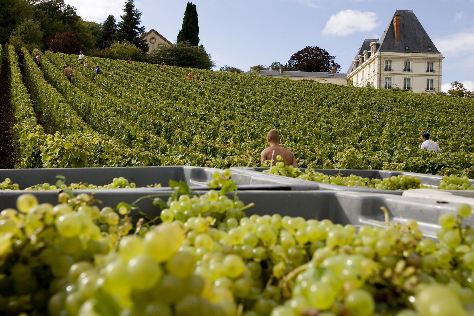 Crates of chardonnay grapes at Moet and Chandon's Château de Saran in France.