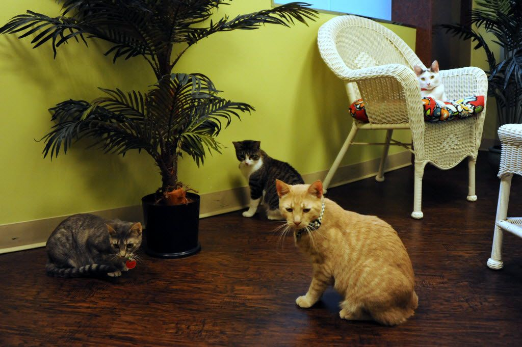 Cats play and relax while waiting to be adopted at The Charming Cat Corner.