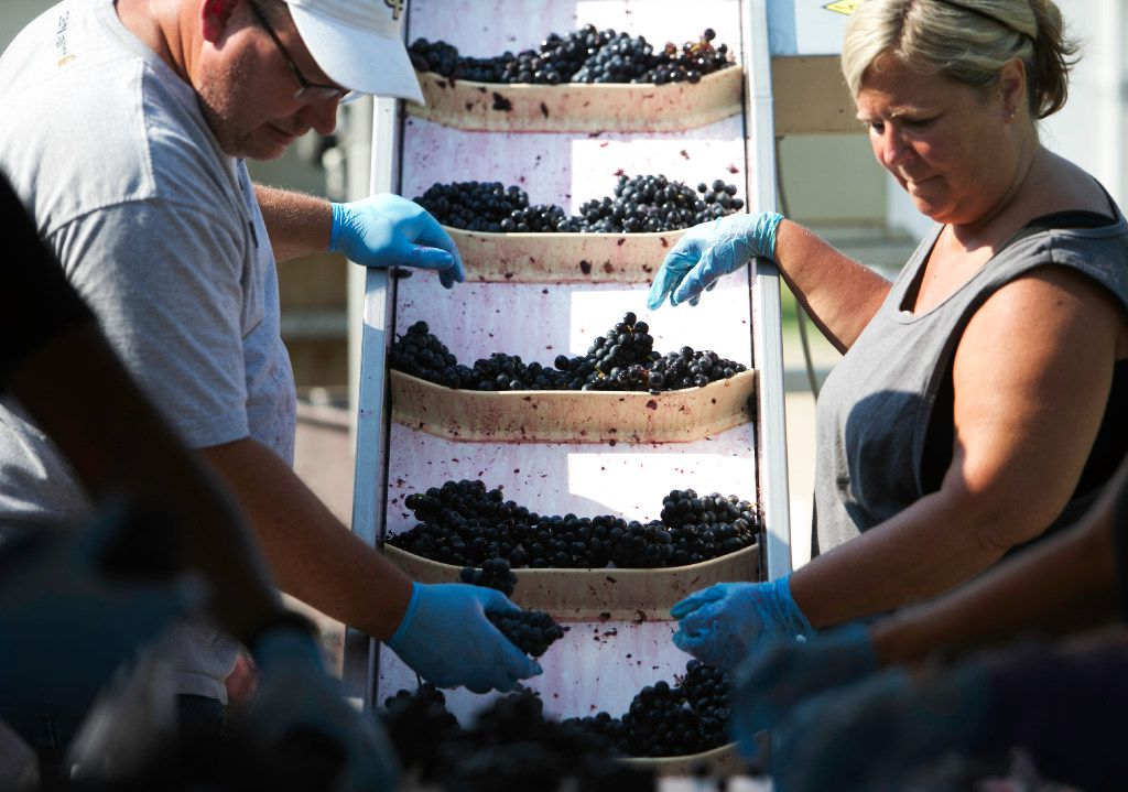 Volunteers sort the grapes before they go into the de-stemmer at the Eden Hill Vineyards in Celina.
