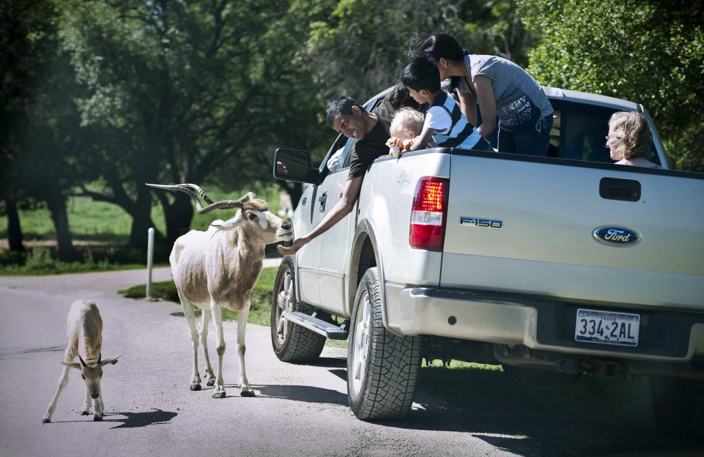 A group of tourists feed an Addax at Fossil Rim Wildlife Center in Glen Rose, Texas